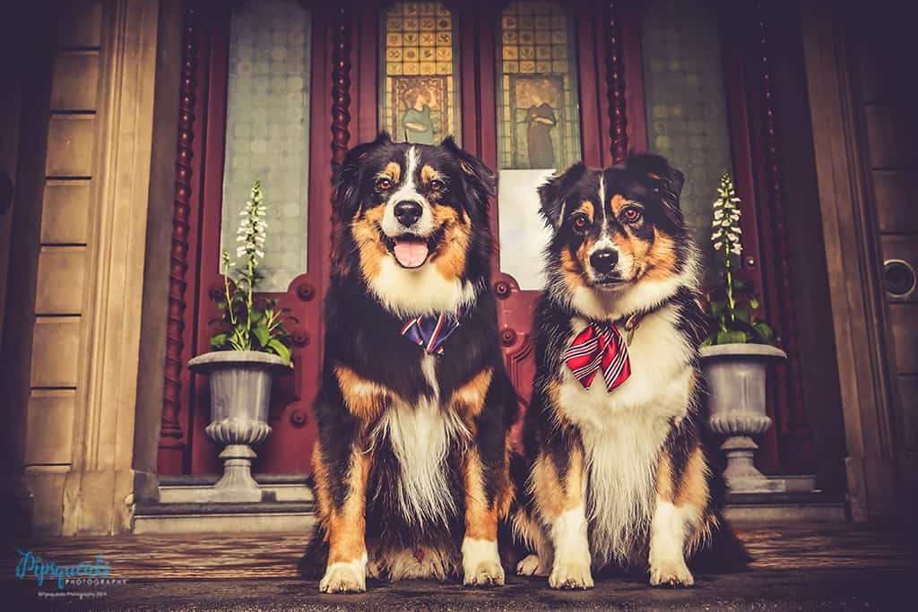 Pipsqueaks Photography, Loreto Mandeville Hall, Pet photography Melbourne, Dog Photography Melbourne, Australian Shepherds